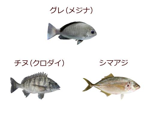グレ、チヌ、シマアジ