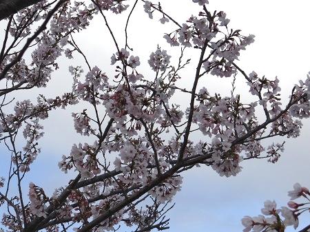 桜と空のグラデーション