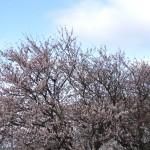 桜何分咲き?