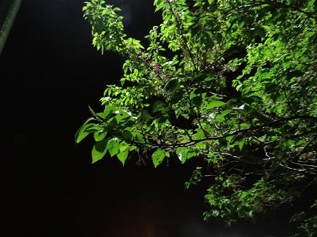 夜の桜の木2